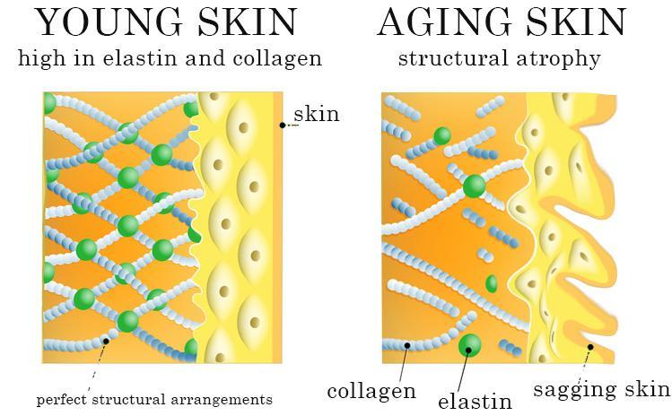 年轻肌肤VS熟龄肌肤中的胶原蛋白